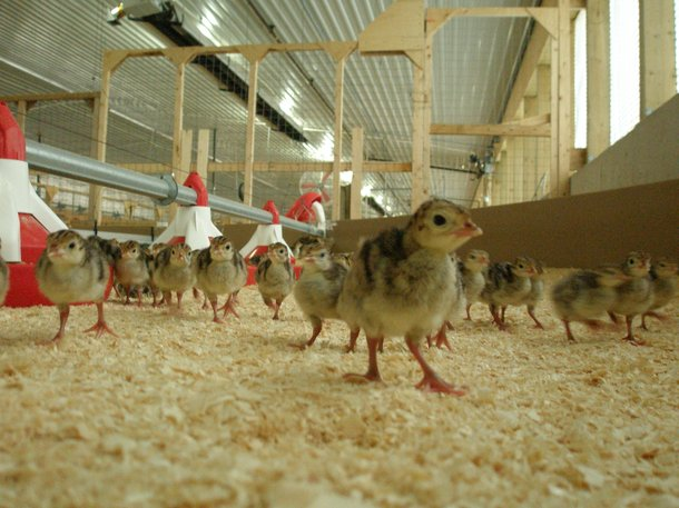 Orlopp poults in barn