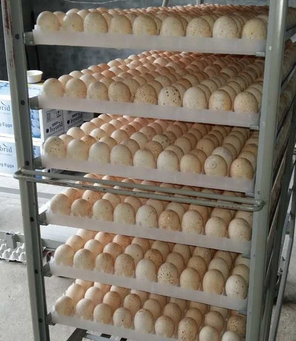 trays of eggs