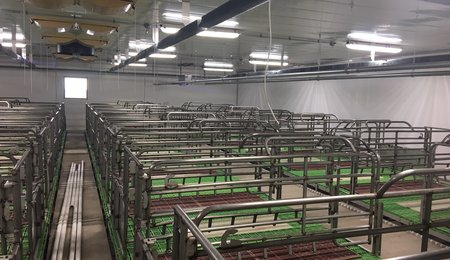 Camrose colony - Farrowing