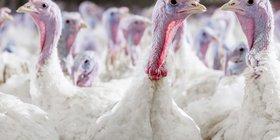 Hybrid Turkey (8).jpg