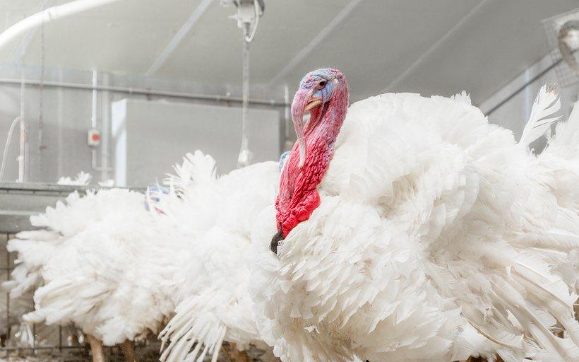 Hybrid XL turkey
