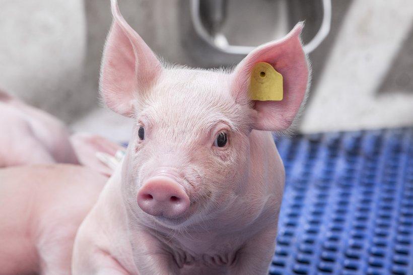 Hypor Pigs