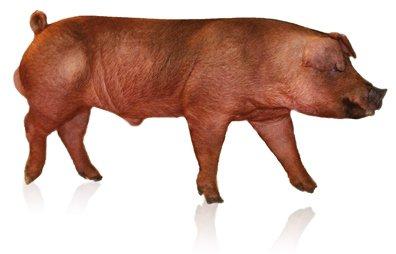 Hypor Boar Kanto