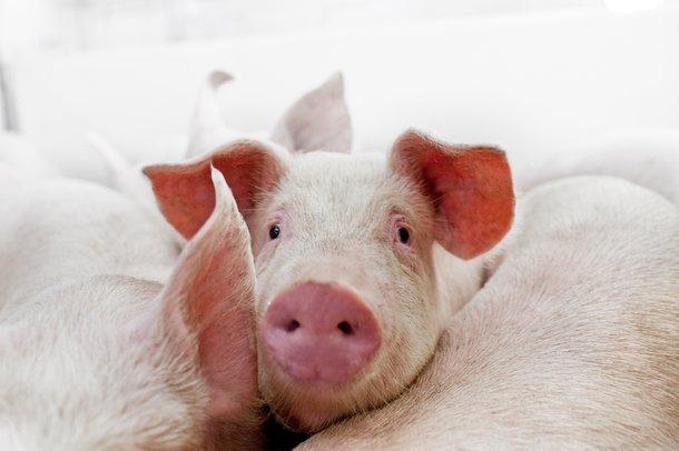 Hypor pig