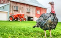 orlopp bronze turkey