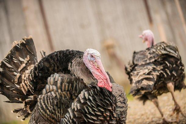2 orlopp bronze turkeys
