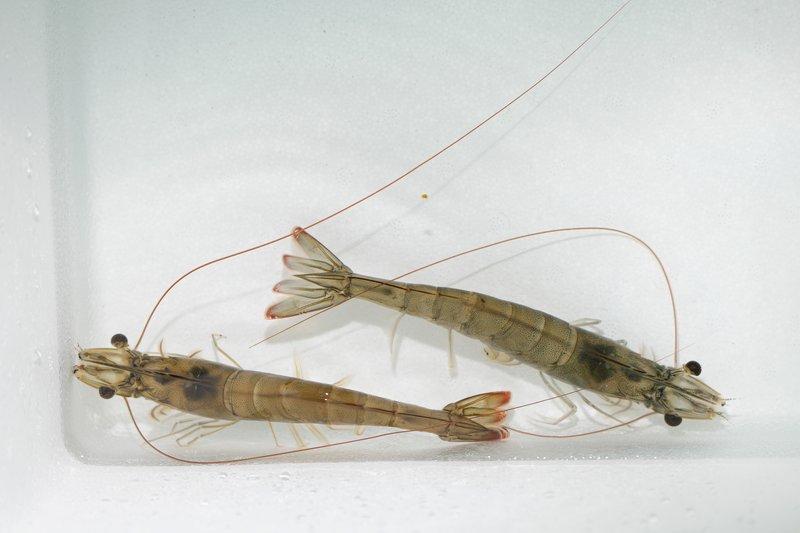 Shrimp breeder females