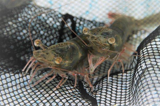 Head shot shrimp