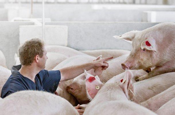 Swine2.jpg