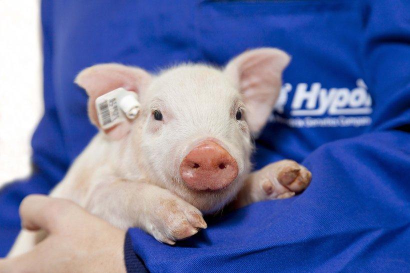 Hypor employee holding piglet