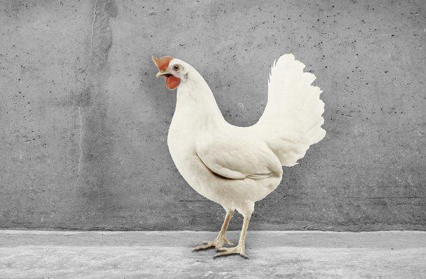 babcock White cs chicken layers