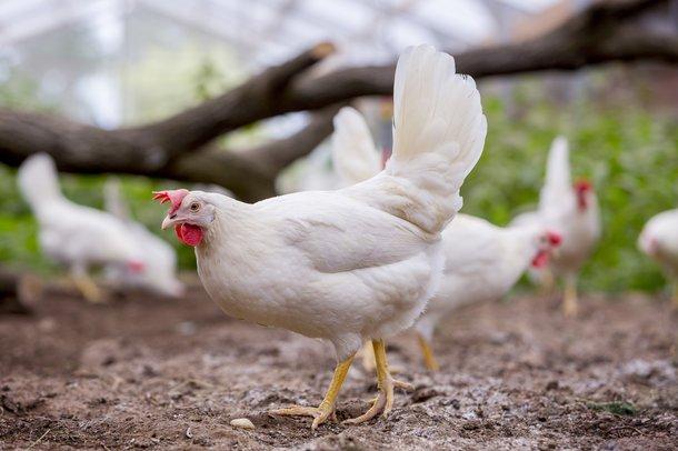 Dekalb White cs aviary chickens layers