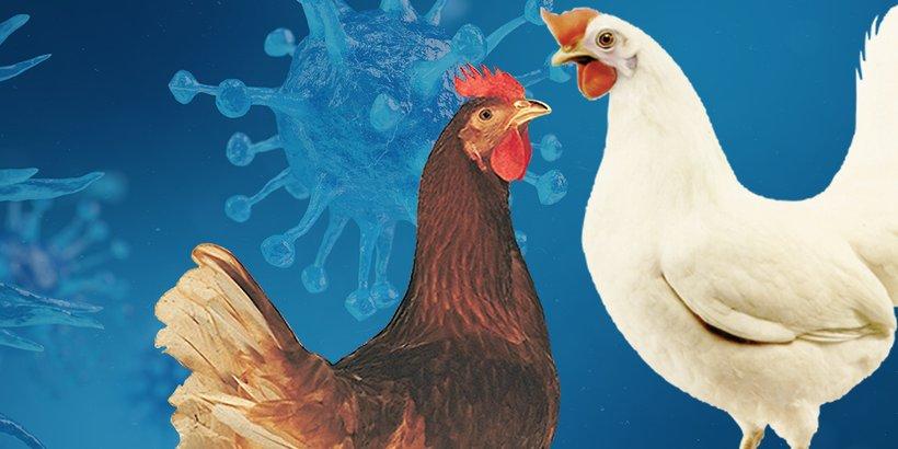 Laying hens unlock natural defences to ward off disease