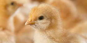 one day old chick 598px.jpg