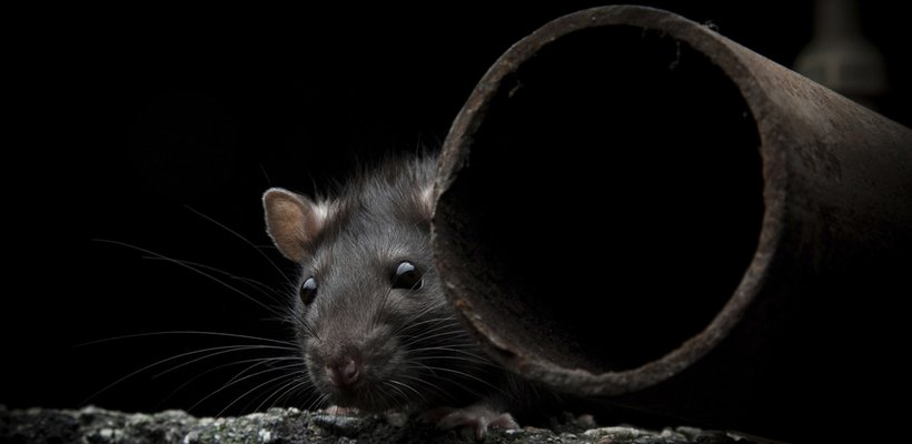 Rodent control