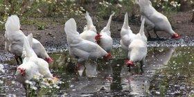 white chickens drinking.JPG