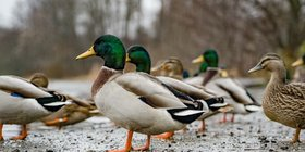 wild ducks.jpg